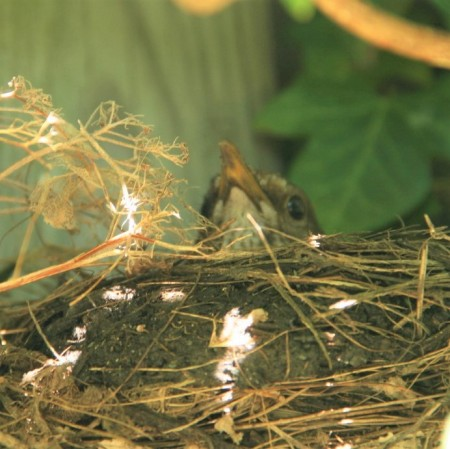 merelvrouwtje-op-nest (2)